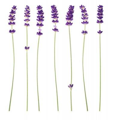 Image fleurs de lavande