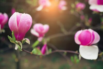 Image Fleurs de magnolia