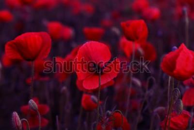 Image Fleurs Les coquelicots rouges s'épanouissent sur un champ sauvage. Coquelicots rouges de beau champ avec mise au point sélective. Tonifiant. Traitement créatif dans dark low key