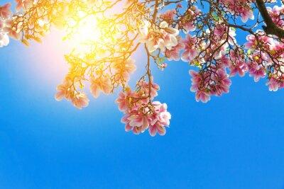 Image fleurs Magnolia dans le soleil