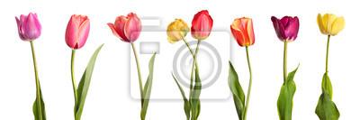 Image Fleurs. Rangée de belles tulipes colorées isolé sur fond blanc