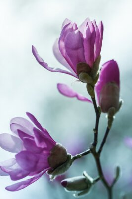 Image Floraison magnolia rose
