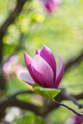 Image Floraison, rose, magnolia, fleurs, ressort, temps