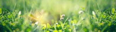 Image Flowering clover in meadow, spring grass and clover flower lit by sunlight in spring