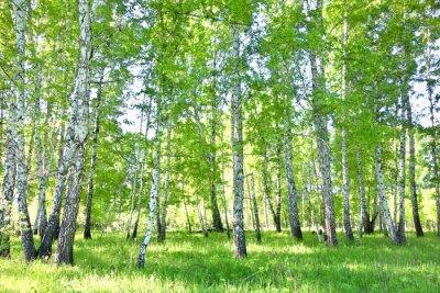 Image forêt de bouleaux