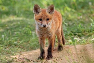 Image Fox à l'état sauvage