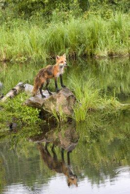 Image Fox avec réflexion dans un lac tranquille