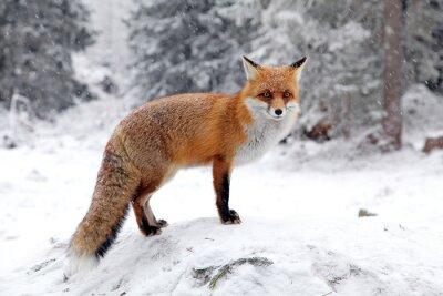 Image Fox dans la forêt à Hautes Tatras, en Slovaquie