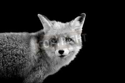 Image Fox sur fond sombre. Image en noir et blanc