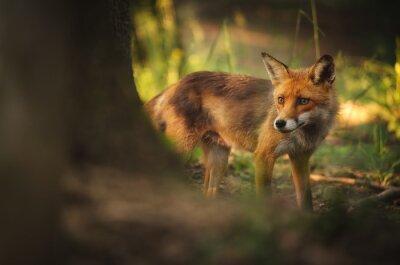 Image Fox sur la forêt de l'été