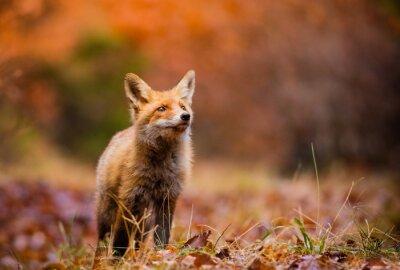 Image Fox (Vulpes vulpes) en europe forêt