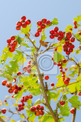 fruits rouges sains vitaminic sur une branche. nourriture maturité