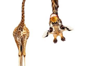 Image Fun cute upside down portrait of giraffe on white