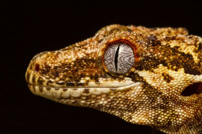 Image Gargouille Gecko (Rhacodactylus auriculatus) de profil