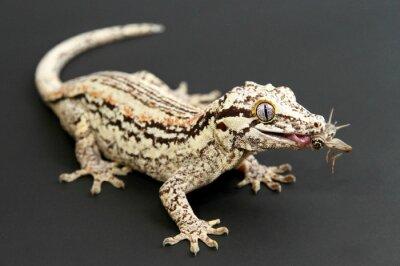 Image Gargoyle Gecko alimentation