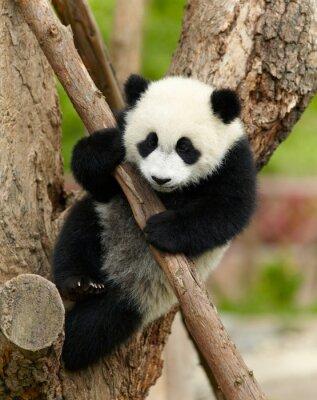 Image Géant bébé panda sur l'arbre