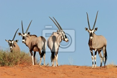 gemsbok antilopes