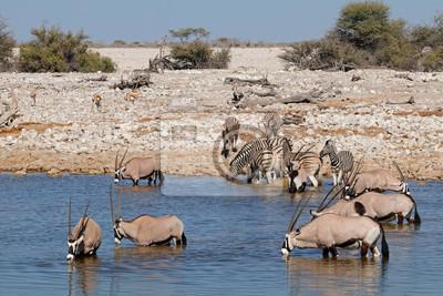 Gemsbok (Oryx gazella) et zèbres (Equus burchelli) dans un trou d'eau, Parc national d'Etosha, Namibie.