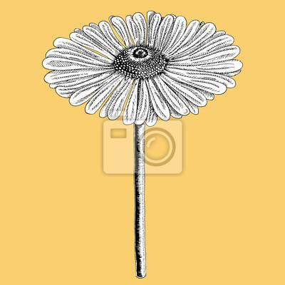 Gerbera Coloree En Noir Et Blanc Sur Fond De Couleur Fleur Stylisee