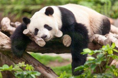 Image Giant Panda