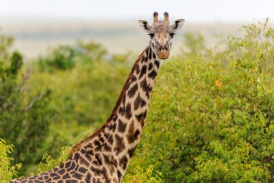 Image girafe