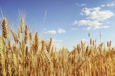 Image Golden wheat field