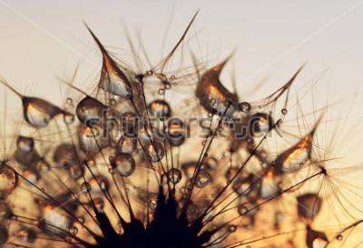 Image Gouttes de rosée sur une graine de pissenlit au lever du soleil se bouchent.
