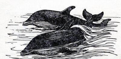 Image Grand dauphin (Tursiops truncatus)