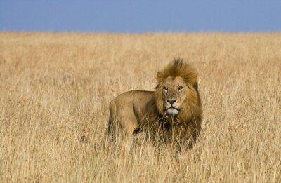 Image Grand lion mâle dans la savane. Parc national. Kenya. Tanzanie. Maasai Mara. Serengeti. Une excellente illustration.