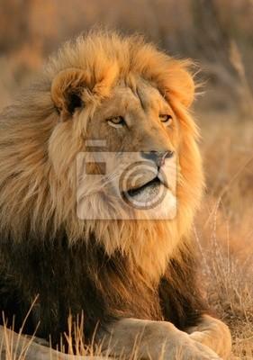 grand mâle lion