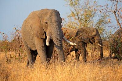 Image Grandes éléphants de taureau africains (Loxodonta africana), parc national de Kruger, Afrique du Sud.