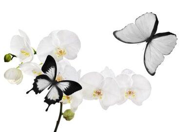 Image grandes fleurs d'orchidée blanche et deux papillons