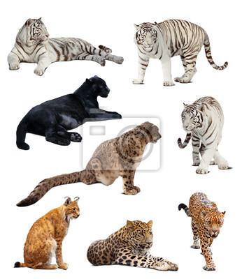 Image grands chats sauvages. Isolé sur blanc