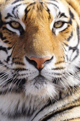 Image Gros coup Portrait d'un tigre du Bengale