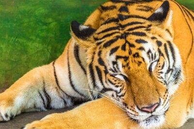 Image Gros plan d'un gros tigre qui dort en plein air, en Thaïlande, en Asie.