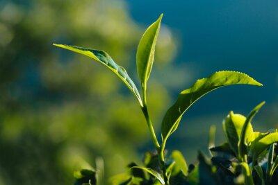 Image Gros plan, vert, frais, thé, feuilles, plantation