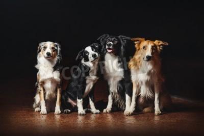 Image Groupe, heureux, chiens, frontière, collies, noir, fond