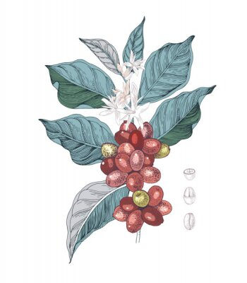Image Hand drawn illustration of Coffee branch with seeds, fruits and flowers. Sketched coffee plant
