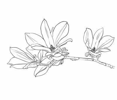 Image Hand drawn magnolia flowers.