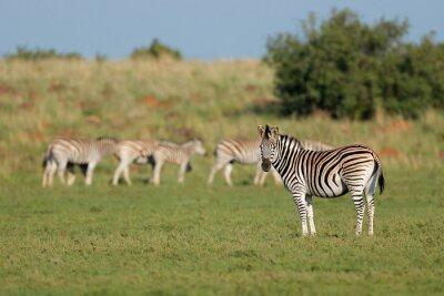 Herd of plains zebras (Equus burchelli) in natural habitat, South Africa.