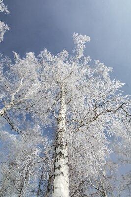 Image Hiver, bouleau, arbres, forêt