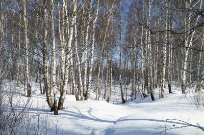 Image Hiver, paysage, blanc, Bouleau