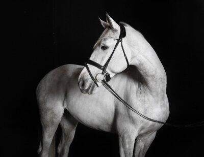 Image Holsteiner Pferd Weiss vor schwarzem Hintergrund