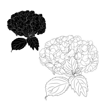 Image Hydrangea Hortensia Ajisai Fleurs Lacecap Ornementale Floraison