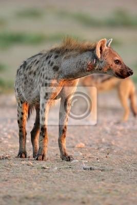 Hyène tachetée, le désert du Kalahari, en Afrique du Sud