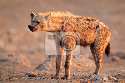 Hyène tachetée, le parc national d'Etosha