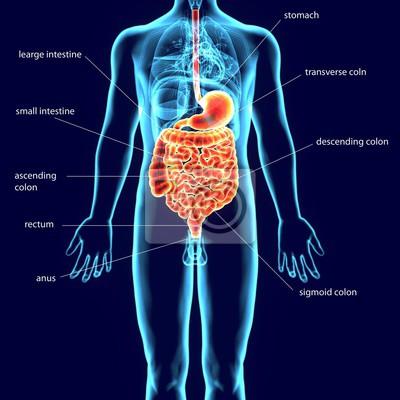 Anatomie Du Corps Humain illustration 3d de lanatomie du système digestif du corps humain