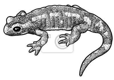 Illustration De Salamandre De Feu Dessin Gravure Encre Dessin Peintures Murales Tableaux Triton Gravent Gravure Myloview Fr