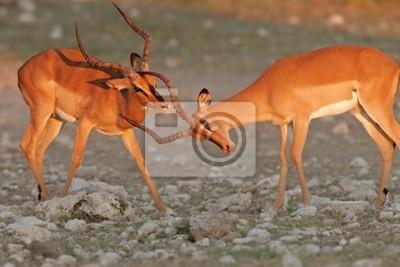 impalas à face noire