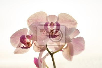 Isolées belles orchidées en fleurs roses fleurs
